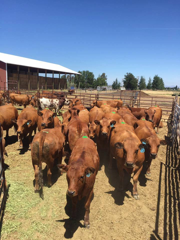 Influence Of Modified Live Vaccines On Reproductive Performance In Beef Cattle