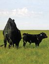 """Back Patches Improve Visual Heat Detection"" Canadian Cattlemen Magazine (June 2014)"
