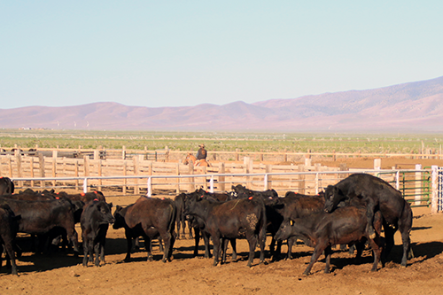 Heifers mounting with Estrotect Breeding Indicator